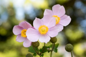 anemone - flowers that symbolize unfading love
