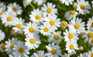 daises - symbolize playfulness and happiness