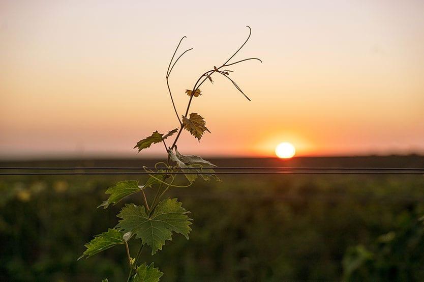 Resilience - lone vine in morning light